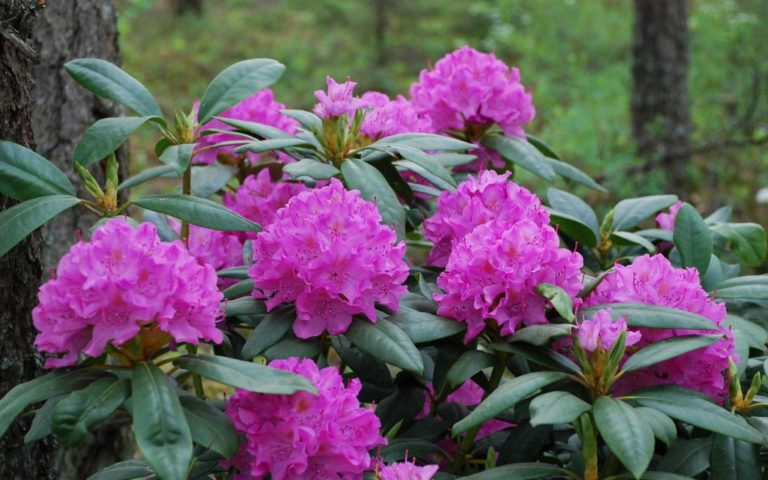 Rhododendrom English Rose